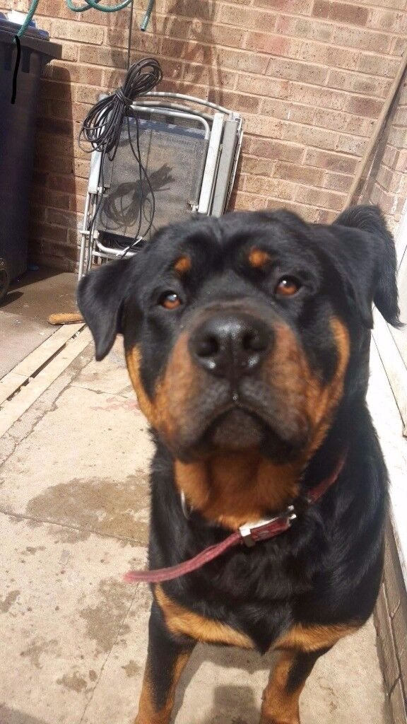 rottie for sale