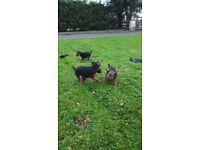 Lakeland terrior pups
