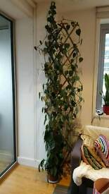 Amazing Philodendron house plant