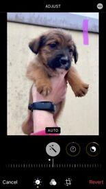 Zuchon cross pups