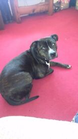 This is lilly shes a brindle stafford bull terrier