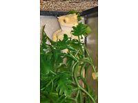 gecko (crested gecko)