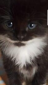 Kitten that looks like papa smurf!