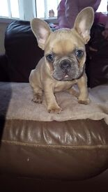 French bull dogs