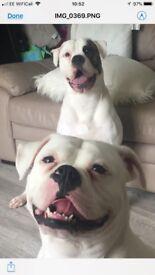 American bulldog puppies **UPDATE**