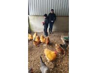 Buff Orpington Cockerels and Hens for sale