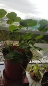 3 decent size strawberry plants £5 for them all