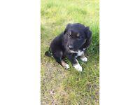 Tri colour male collie pup
