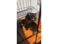 chihuahua pups Black and tan