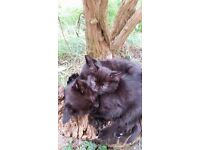 Two black 11 week old kittens for sale