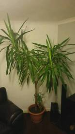 Yucca for sale