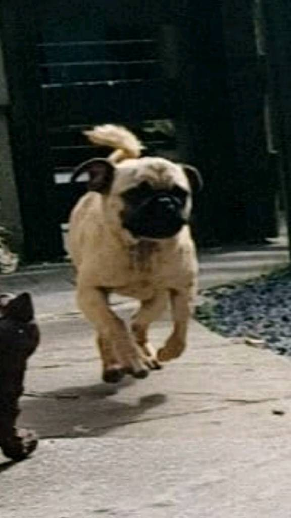 Pug KC Reg 1 year old | in Dromara, County Down | Gumtree