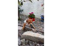 Staffordshire bull terrier pups ( staffy )