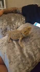 2 year old bearded dragon