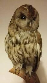 Taxidermy Tawny owl