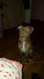 Missing dog (Tyson)