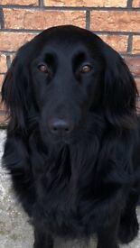 Golden retriever pups (flatcoat)