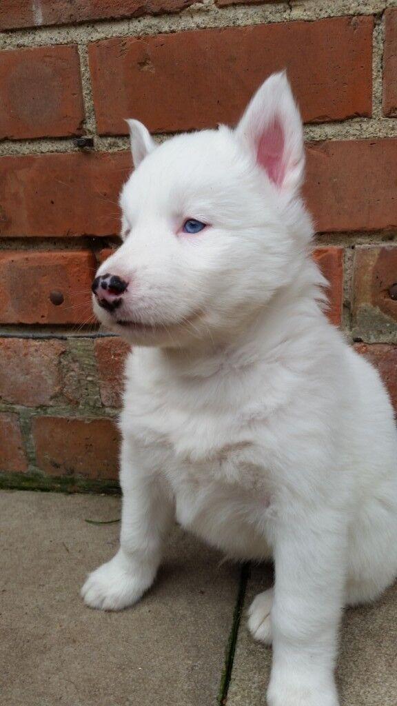 450 Beautiful Blue Eyed Husky Shepherd Puppies Gerberian