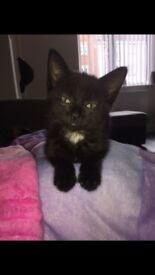 16 week old kitten for sale £40