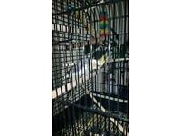 Hand tame cockatiel and cage with stand