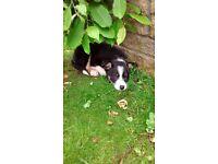Short haired border collie puppy