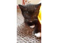 for sale kittens