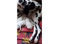 Dalmatian pups black and white and liver and white