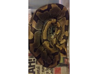 Male and Female Ball Python including full set up