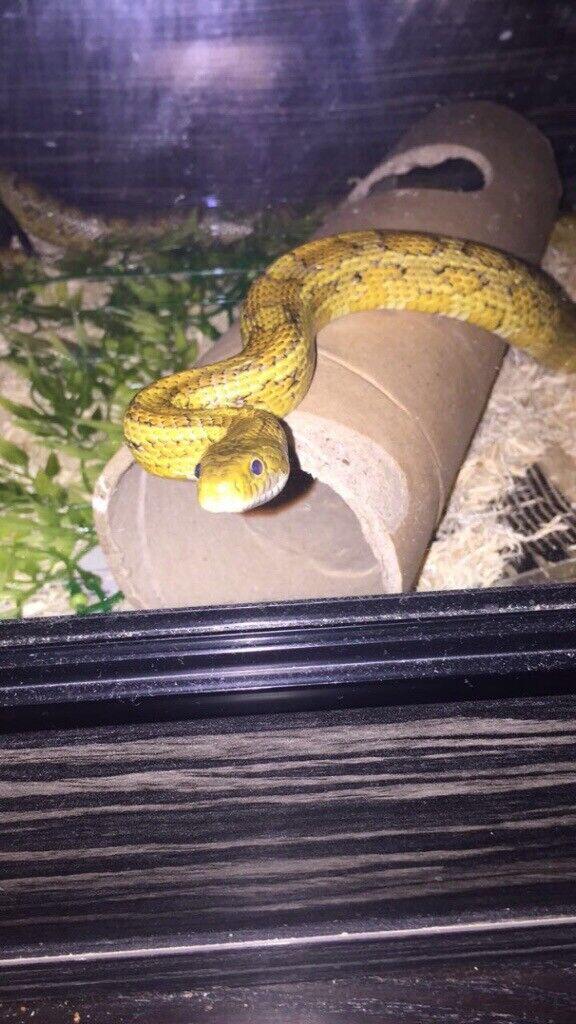 Corn Snake And Viv For Sale In Penicuik Midlothian Gumtree