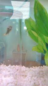 ceylon puffer fish FREE !