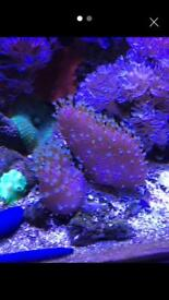 Finger leather frags green tipped