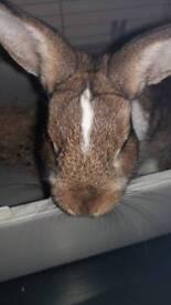 Netherland dwarf buck