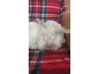 The young girl's angora rabbits
