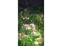 Oleander trees about 70-80 cm tall
