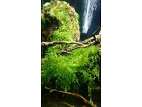 red crystal shimps tank moss for sale