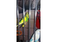 4 baby budgies and large cage free to a good home