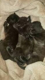 3 kittens for sale