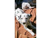 K.c registered Dalmatian male puppies ready to go . (Excellent dogs )