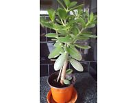 Jade plants - Healthy and nice - known as good luck plants