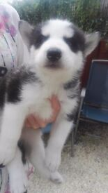 Absolute stunning huskymute puppis for sale in Llanelli