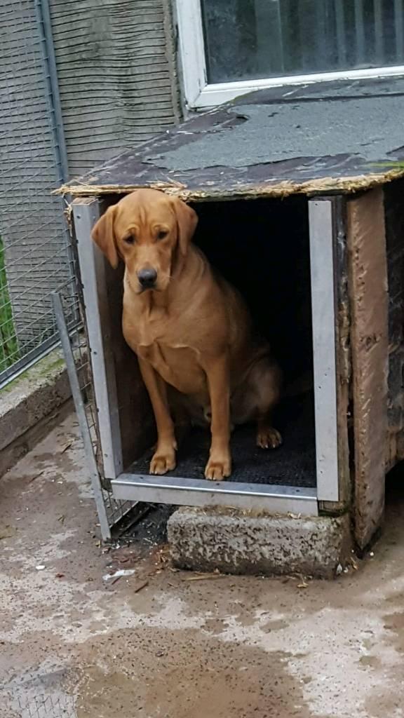 Fox red Labrador pups | in Portglenone, County Antrim | Gumtree