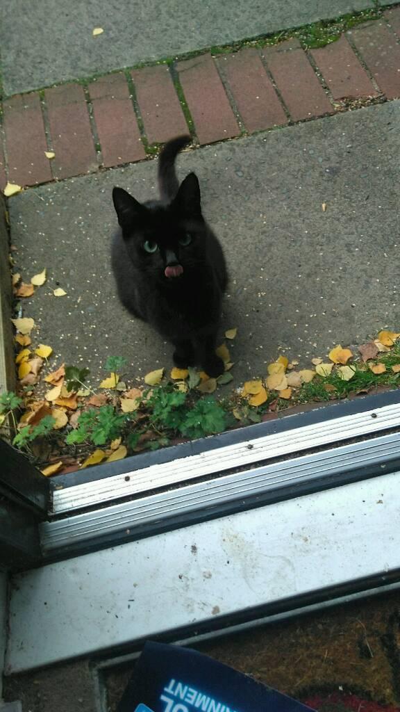 Found little black female cat