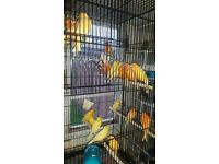 CANARY COLOR