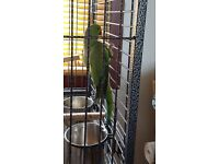 Green indian ring neck approx 3yrs old with large cage,5 bowls, toys, food