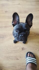 6 month old french bull puppie