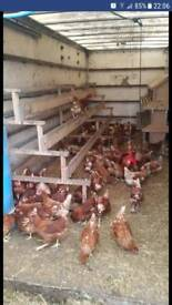 15 laying hens