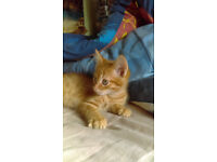 beautiful kittens ginger for sale