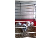2 male baby white guinea pigs