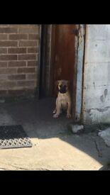 Beorboel crossed Japanese Akita puppies for sale