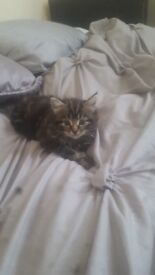 tabby long haired 8 weeks old
